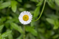 The Blossoming Daisy in the Cold Weather stock photography