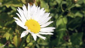 Blossoming daisy in a spring field. stock footage