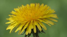 Blossoming dandelion close up. Blossoming dandelion on a blurred background of greenery. Medicinal plant. close-up stock video