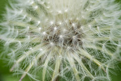 Blossoming dandelion close up Royalty Free Stock Image