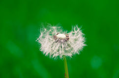 Blossoming dandelion Royalty Free Stock Photos
