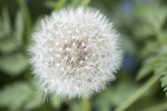 Blossoming dandelion on a meadow. In the wind Royalty Free Stock Photos