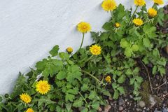 Blossoming dandelion plants growing in crack of wall. Blossoming dandelion plants growing in crack of white wall royalty free stock images