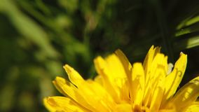 Yellow dandelions on green meadow in springtime. Beautiful yellow dandelion blossoms. Blossoming Dandelion Taraxacum. Yellow dandelion on green meadow in stock video footage