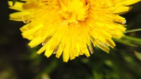 Yellow dandelions on green meadow in springtime. Beautiful yellow dandelion blossoms. Blossoming Dandelion Taraxacum. Yellow dandelion on green meadow in stock footage