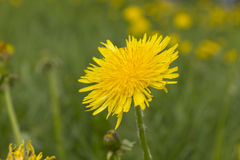 Blossoming Dandelions Stock Photography
