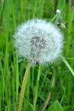 Blossoming dandelions in the garden Royalty Free Stock Photo