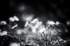 Blossoming of dandelions in the spring Royalty Free Stock Photography
