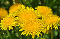 Blossoming dandelions Stock Photos