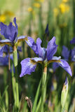 Blossoming dark blue irises Royalty Free Stock Photography
