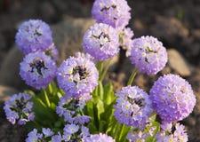 Blossoming decorative onions (Allium ) Stock Images