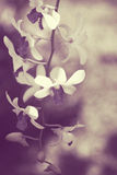 Blossoming Dendrobium bigibbum orchid Royalty Free Stock Photography