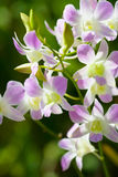 Blossoming Dendrobium bigibbum orchid Stock Photos