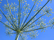 Blossoming dill. Dill flowers Royalty Free Stock Image