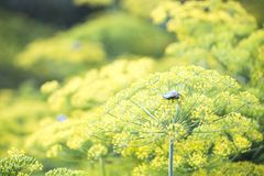 Blossoming dill. Fennel beds Royalty Free Stock Images