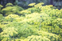 Blossoming dill. Fennel beds Stock Images