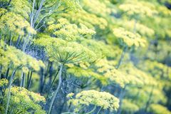 Blossoming dill. Fennel beds Royalty Free Stock Photos