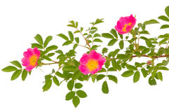 Blossoming dogrose Royalty Free Stock Image