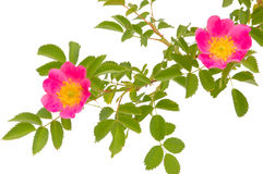 Blossoming dogrose Stock Image