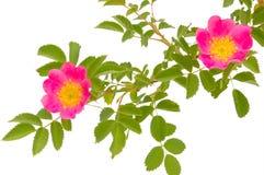 blossoming dogrose Стоковое Изображение
