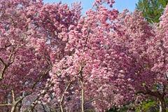 Blossoming dogwood trees near National Mall in Washington DC. Flowers abundance during cherry blossom festival in Washington DC Stock Photos