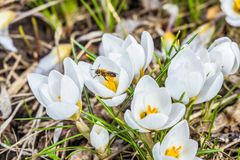Blossoming early spring white crocuses ladykiller. Bee on a flower. royalty free stock images