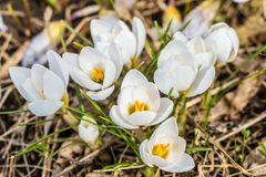 Blossoming early spring white crocuses ladykiller. Natural spring background. royalty free stock photography