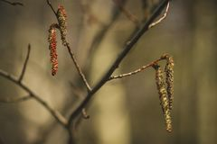 Blooming catkins on the birch. Blossoming earrings on birch in the spring forest in Russia royalty free stock image