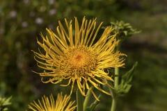 Blossoming Elecampane helenium Inula Стоковые Фотографии RF