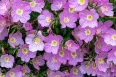Blossoming evening primrose pink In Spring stock images