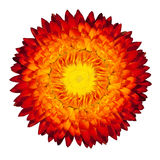 Blossoming Everlasting Flame Flower on White. Blossoming Everlasting Strawflower Flame Flower, Immortelle, Rhodanthe, Helipterum,  Isolated on White Background Stock Images