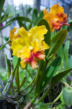 Blossoming exotic Thai orchid Royalty Free Stock Images