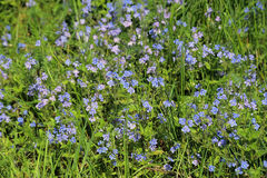 Blossoming field herbs with small flowers Royalty Free Stock Photography