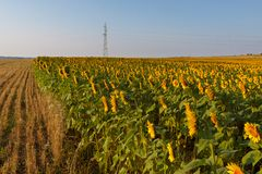 Blossoming field of sunflowers royalty free stock image