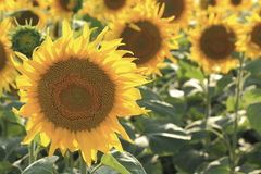 Blossoming field of sunflowers close-up Royalty Free Stock Photos