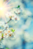 Blossoming flovers of cherry tree on blurred background of leave Royalty Free Stock Photo