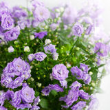 Blossoming flower campanula Royalty Free Stock Photo
