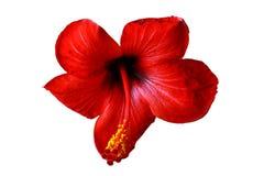 Hibiscus flowering Royalty Free Stock Image