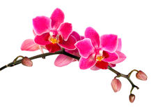 Blossoming flower exotic mini orchid stock photography