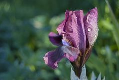 The blossoming flower of the garden iris stock images