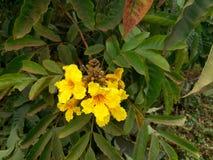 Blossoming Flower, Kampala, Uganda royalty free stock photography