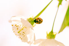 Blossoming flower and lady bird Royalty Free Stock Photography