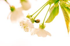 Blossoming flower and lady bird Royalty Free Stock Photos