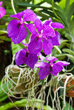 Blossoming flower orchid Stock Image