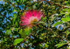 Blossoming flower of Persian silk trre Royalty Free Stock Photos