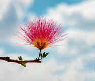 Blossoming flower of Persian silk trre Stock Photo