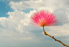 Blossoming flower of Persian silk trre Royalty Free Stock Photo