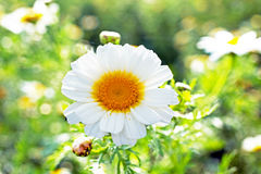 Blossoming flower in spring Royalty Free Stock Photos