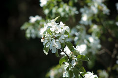 Blossoming flowers on the apple tree Stock Photos
