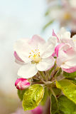 Blossoming flowers of an apple-tree Royalty Free Stock Images
